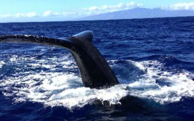 Humpback whales of Maui