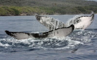 Maui's Whale watching season is just around the corner!