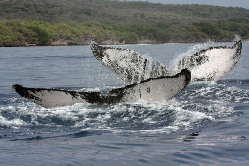 Maui's Whale watching season is just around the corner!