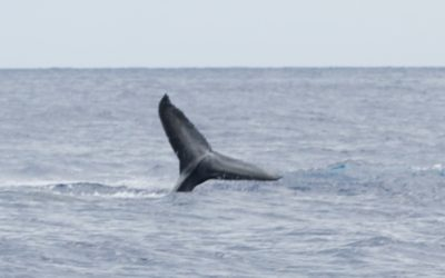 Whale watching from Maui is the best in the Hawaiian Islands.