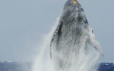The humpback whales will begin arriving in the next few months.